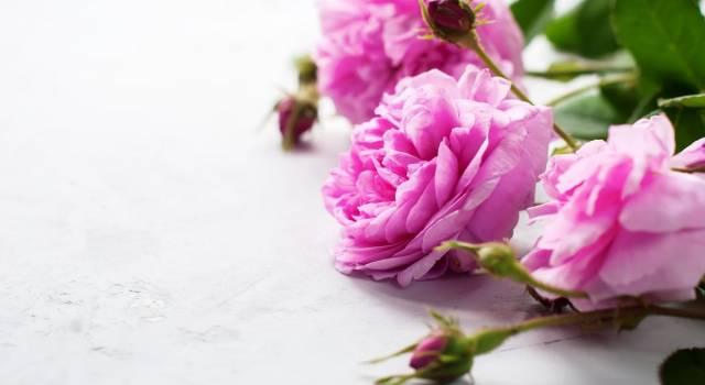 Rosa selvatica: proprietà e benefici
