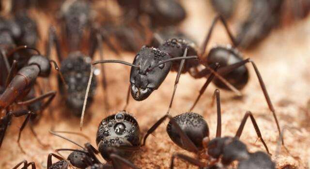 Rimedi contro le formiche in casa: ecco come eliminarle