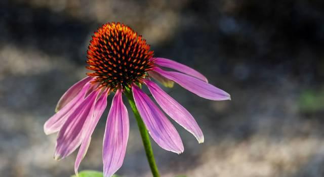 Tutti gli impieghi dell'echinacea, un fiore dalle proprietà curative