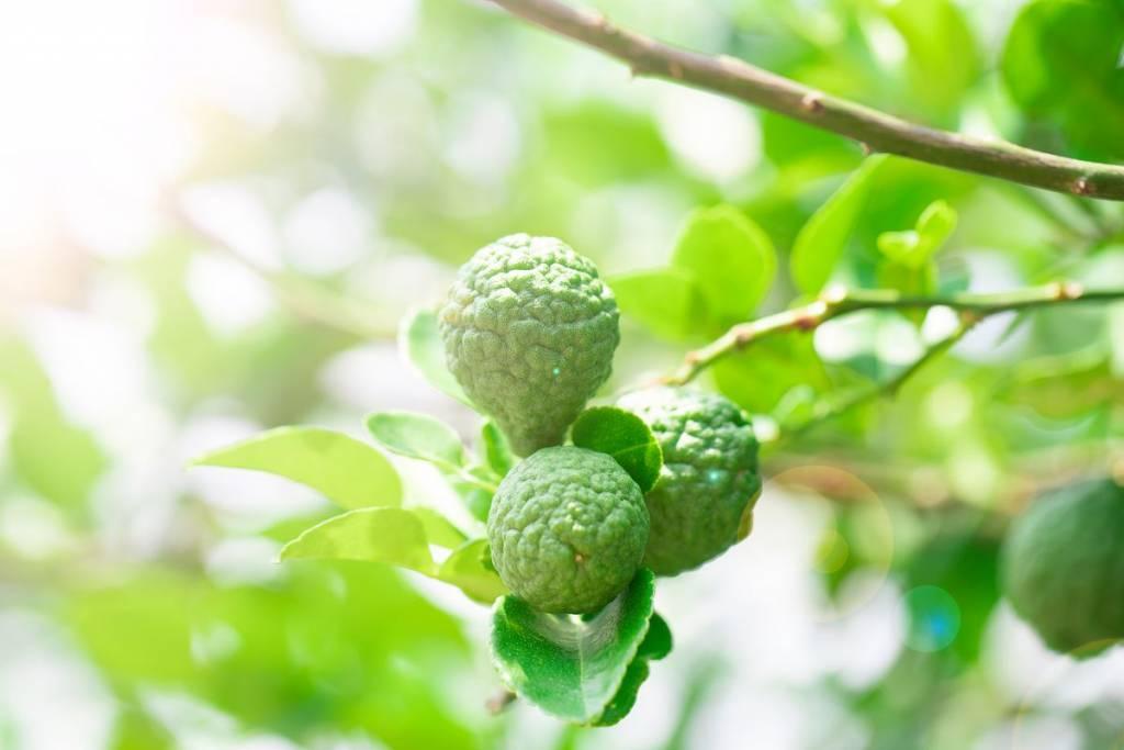 pianta del bergamotto