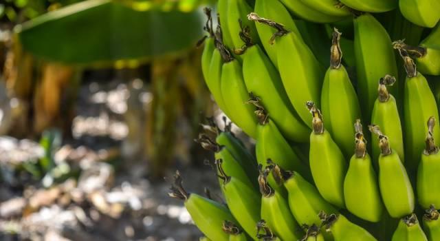 Le proprietà delle banane, il frutto che aiuta il cuore e lo stomaco
