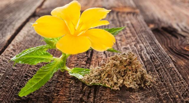 Damiana, la pianta messicana che favorisce la digestione